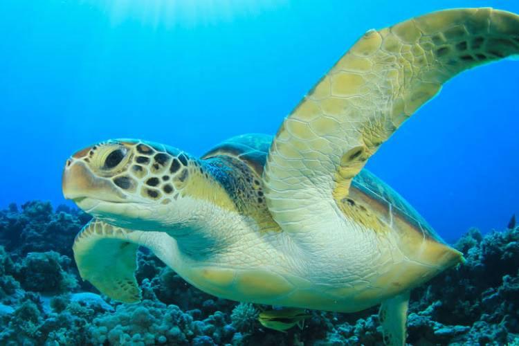 Honu - Hawaiian Turtle