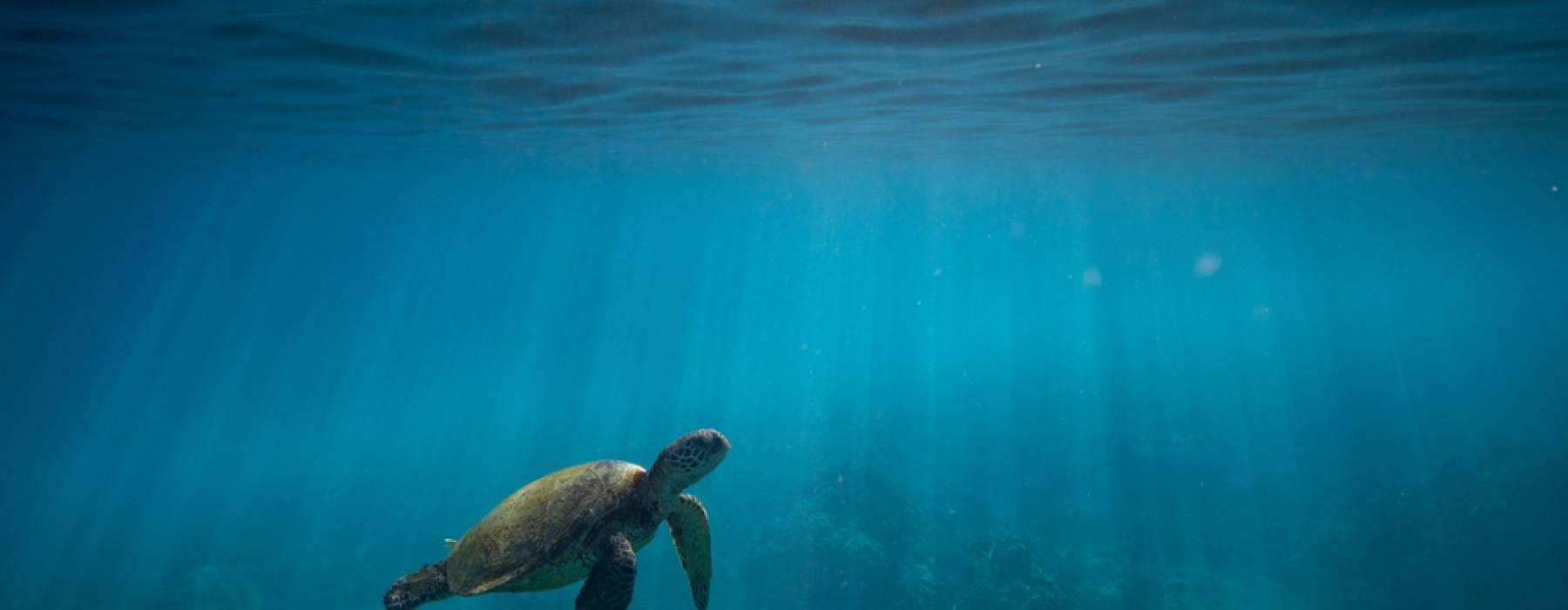 Turtle Honu Swimming in Maui Hawaii