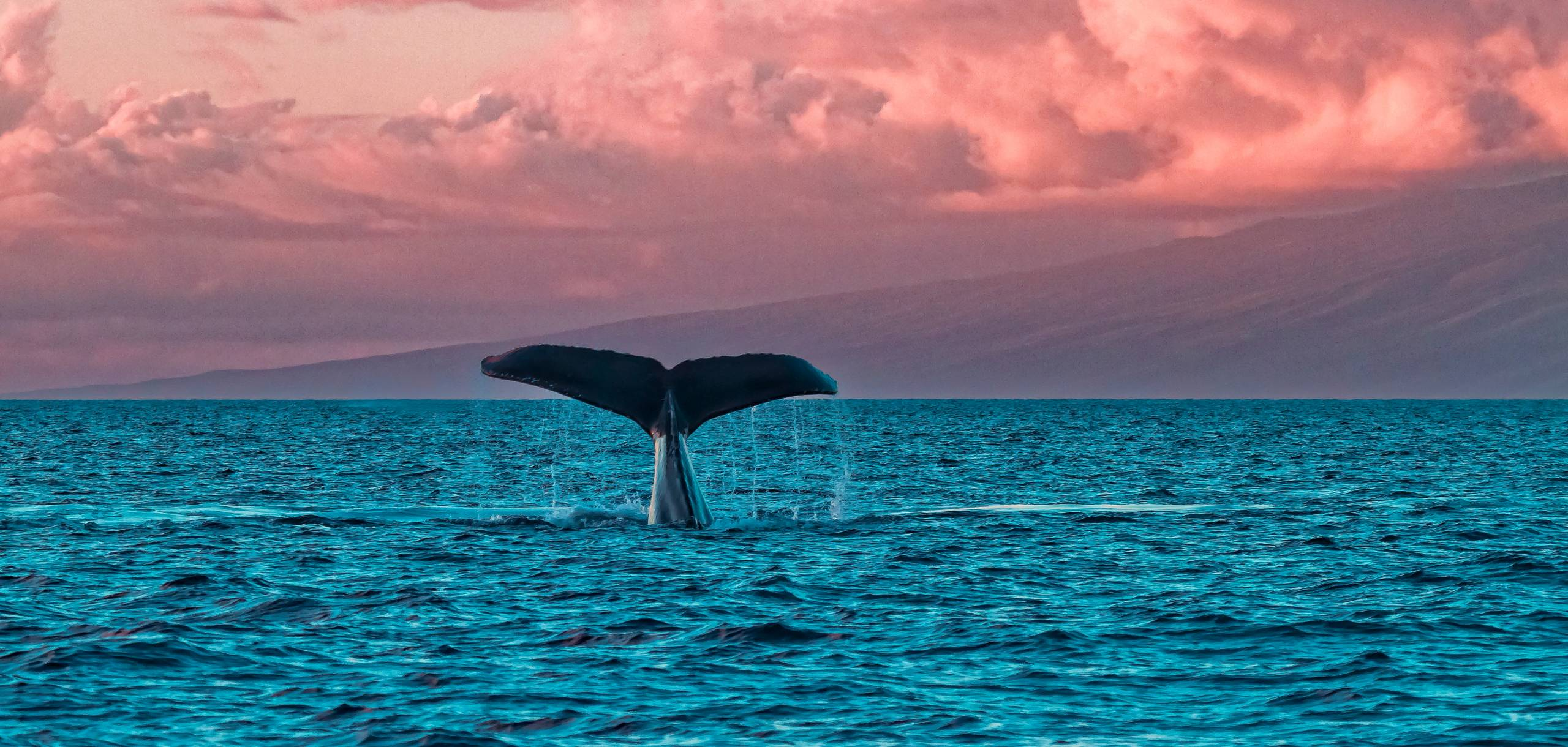Whale at Sunset in Maui Hawaii
