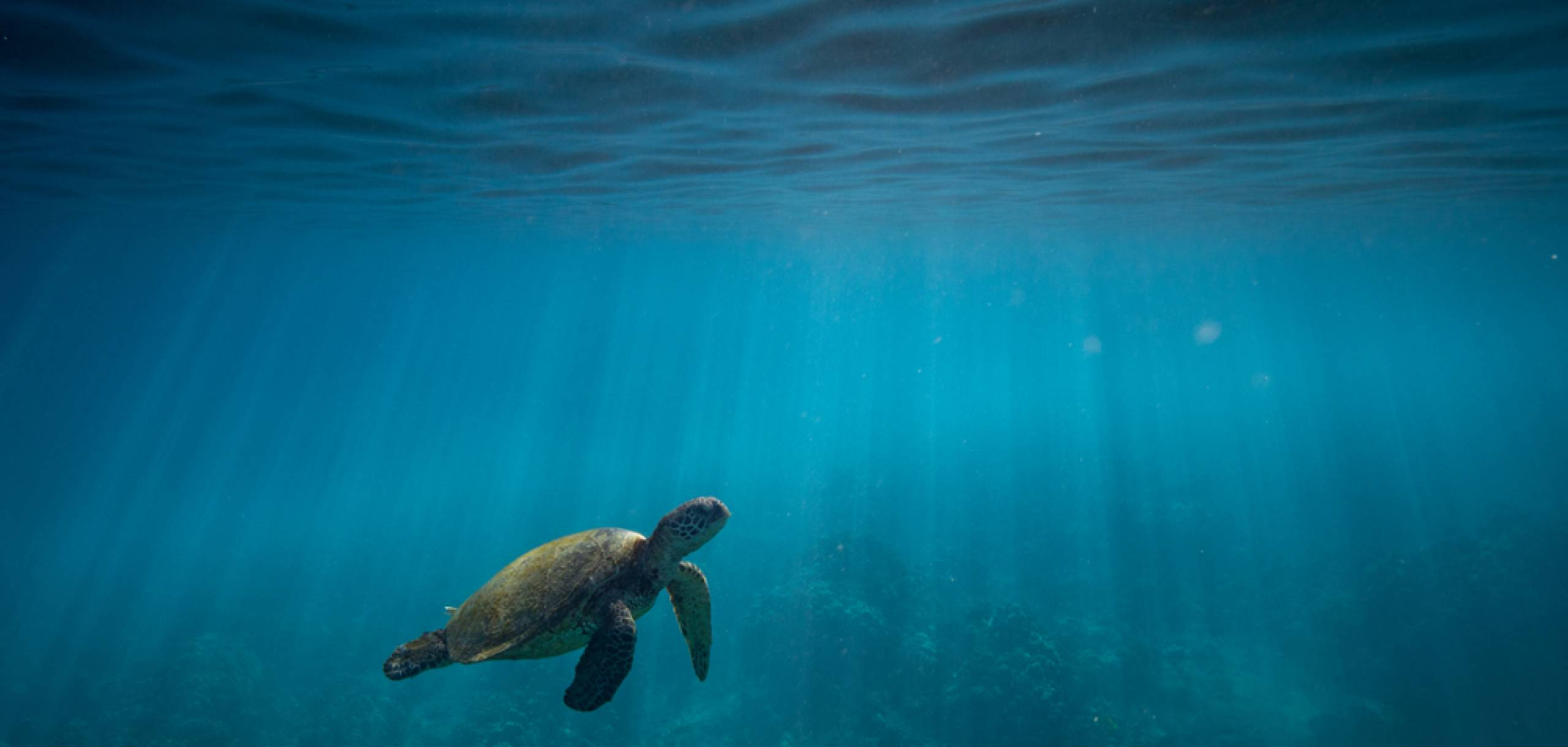 Turtle Honu Swimming in Maui Hawaii